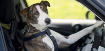 Köpeklere ehliyet