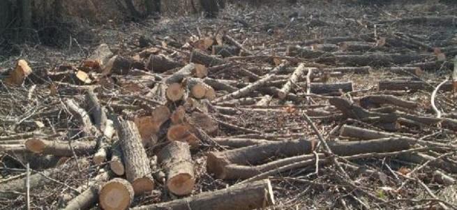 Başkan yine ağaç katletti