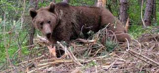 Kastamonu'da bir ayı kurbanlık danayı yedi