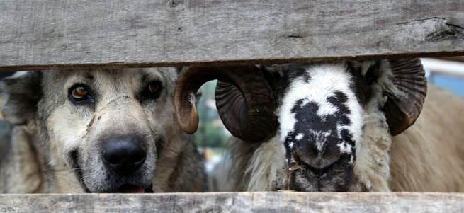 Köpek can dostunu pazarda bile yanlız bırakmadı
