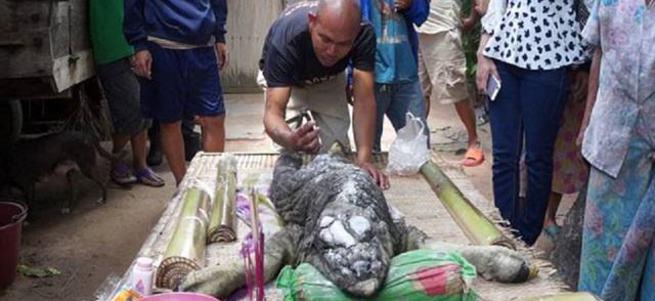 Tayland'da bufalo timsah doğurdu