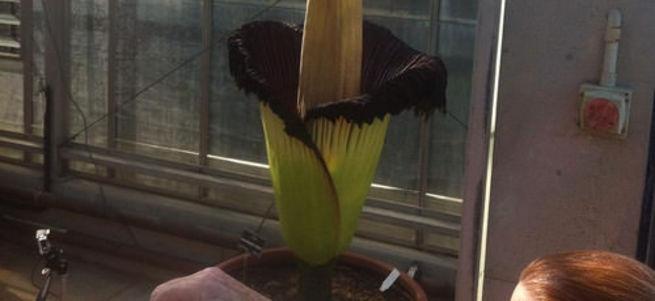 Dünyanın en kötü kokan çiçeği 126 yıl sonra açtı