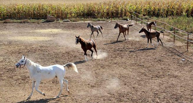 Antalya'da köylülerin atlarını vurdular