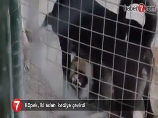Köpek, iki aslan� kediye çevirdi