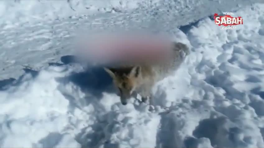 Bayburt'ta tilki ayakta donarak öldü!