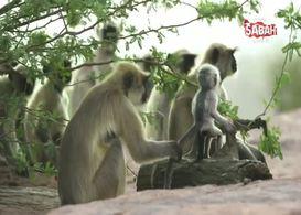 Oyuncak maymunu ölü sanan maymun sürüdesünden bilim adamlarını şoke eden davranış!